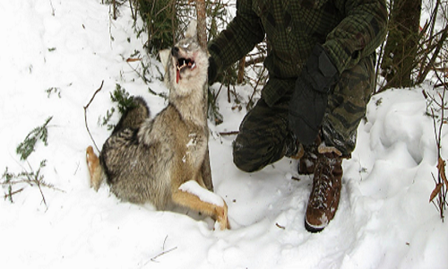 Abolition du piégeage qui tue des animaux, menace des espèces protégées et notre sécurité en forêt