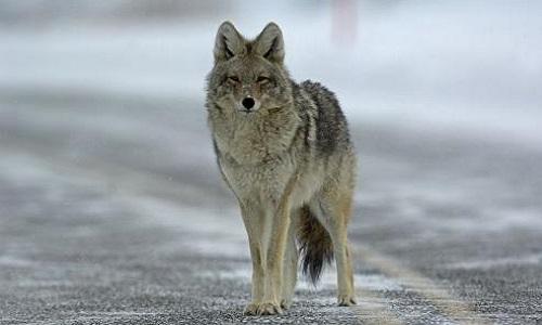 Pétition : Canada Goose, arrêtez de tuer les animaux pour vos horreurs !