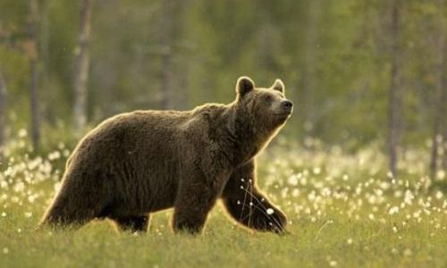 Pétition : Laissons leur fourrure aux ours bruns