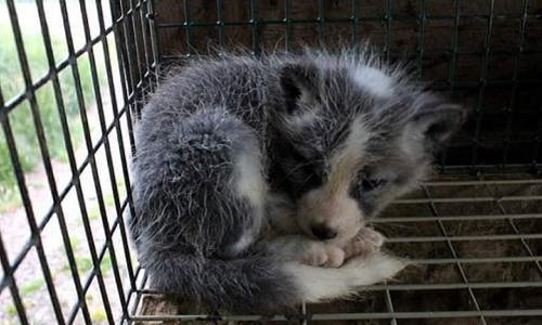 Pétition : AliExpress - Honte, fourrure de raton laveur, de renard, de vison !