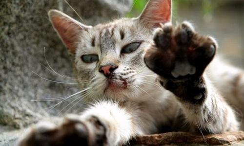 Établir un partenariat avec la SPCA pour la capture, stérilisation et relâche des chats errants à Laval