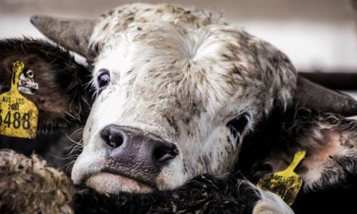 Pétition : Australie / Israël - Arrêt immédiat du transport des animaux vivants