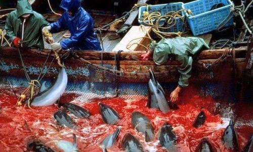 Stop au massacre sur l'île de Taiji