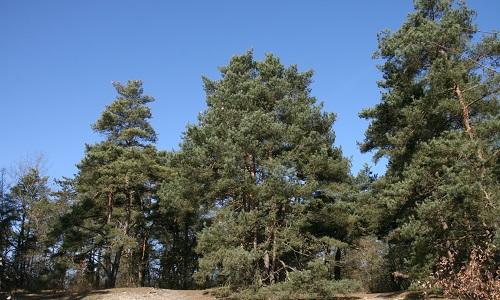 Pétition : Non au massacre des pins de la butte Saint-Martin à Etrechy !