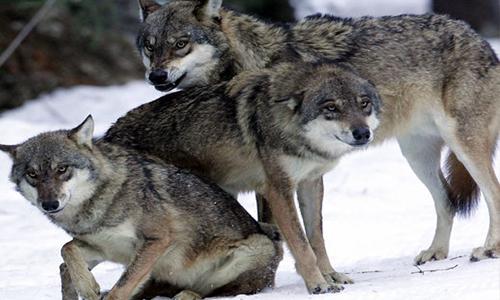 La paix entre les loups et les autres espèces