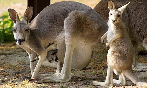 Pétition : Non à l'extermination d'1 million de kangourous en Australie