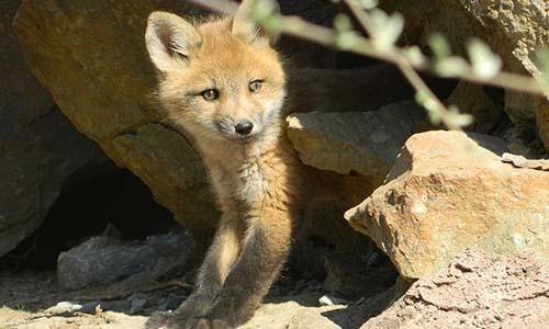 Mobilisation contre la régulation à tir de nuit des renards dans les Ardennes