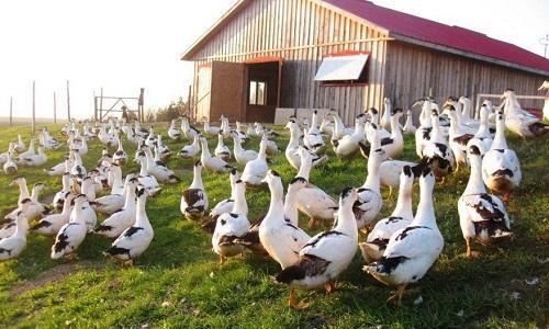 Non à l'abattage des canards