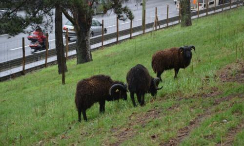 Pétition : Non aux moutons sur le périphérique !