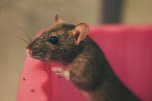 Pétition : Pétition contre le génocide des rats à Toulouse