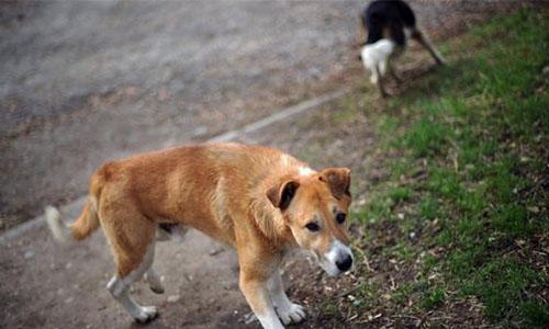 Stop à l'abattage des chiens errants autorisé par le maire à Bazouges-la-Pérouse