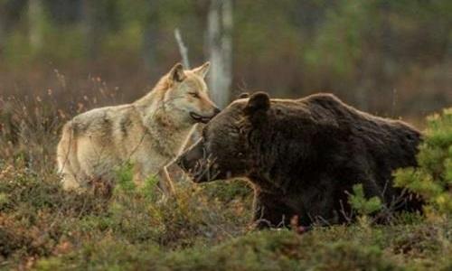 Contre l'abattage des ours et des loups en Alaska
