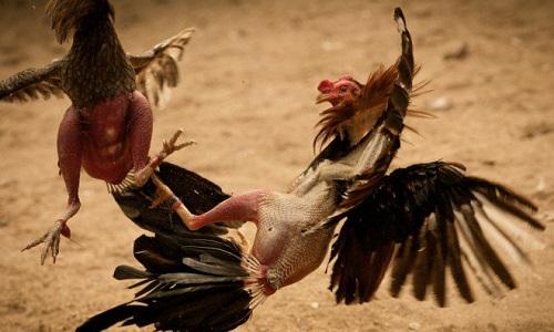 Pétition : Pour l'interdiction des combats entre humains et animaux (ex: corrida) et des animaux entre eux