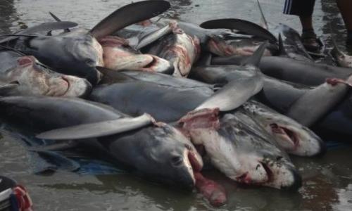 Stop aux massacres des requins