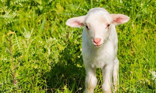 Supprimer les pubs pour l'agneau de Pâques et le veau de la Pentecôte