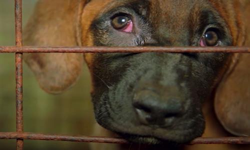 Contre l'industrie de la viande canine sud-coréenne