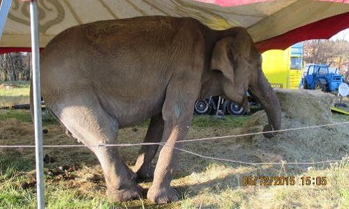 Pétition : Libérez l'éléphante Maya du cirque la Piste d'Or !