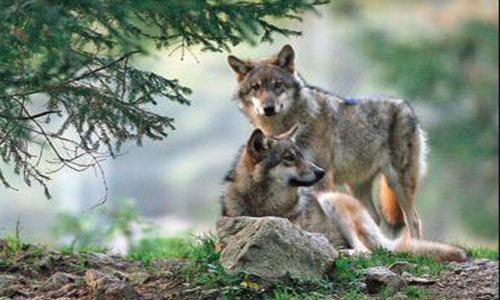 Contre les tirs de défense sur les loups.