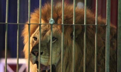 Sauvons le deuxième lion du cirque Buffalo Circus de l'euthanasie !