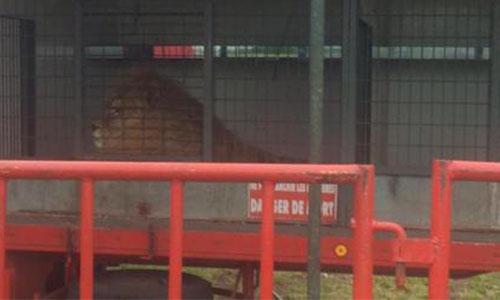 Pour l'interdiction d'euthanasie du lion du Cirque Buffalo suite à l'attaque sur un dompteur