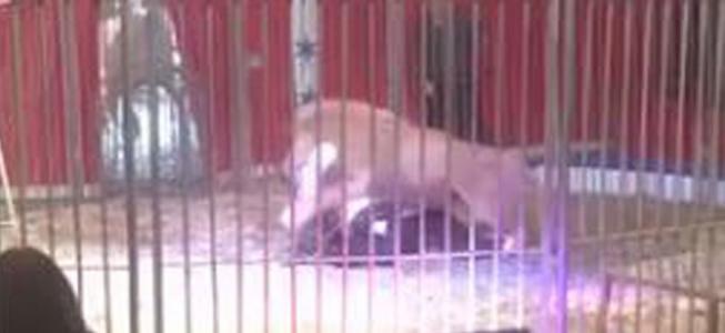 Libérez les animaux des cirques