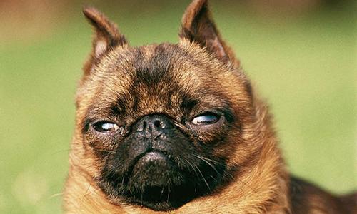 Refus de l'homologation du titre de champion de France à un chien à titre initial