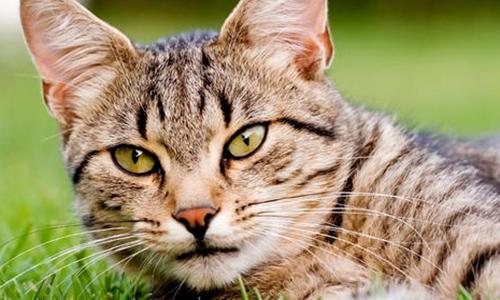 Contre le piégeage des chats à Jumel