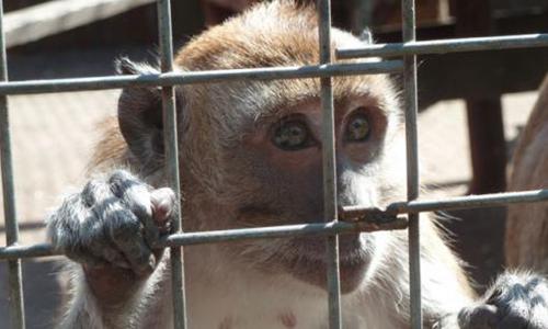 Demande en justice pour le massacre des singes de Labenne