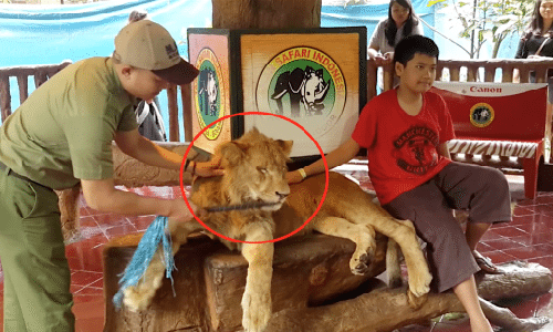 Stop aux photos avec les lions, drogués et maltraités, à l'étranger ou dans les zoos !