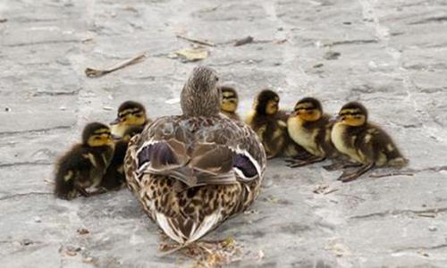 Maltraitance canetons, canards du bassin du jardin du centre commercial de la Caserne de Bonne à Grenoble