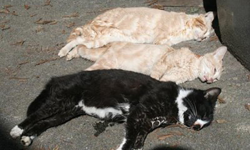 Des chattes et des chatons empoisonnés et disparus à Champs-sur-Marne (77)