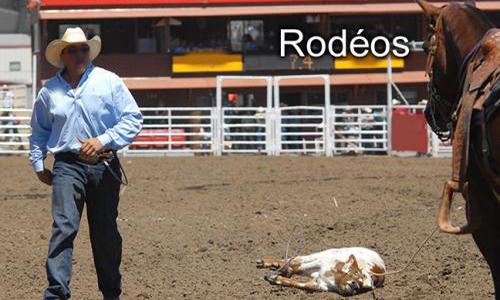 Rodéos : torturer les animaux pour le plaisir !
