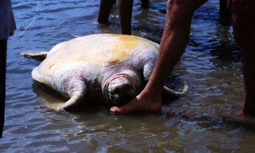 Pour plus de protection à Mayotte : des braconniers décapitent des tortues !
