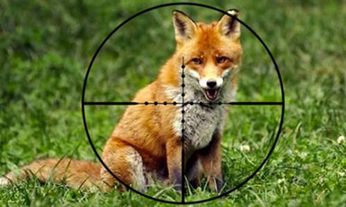Arrêtons la chasse aux renards !