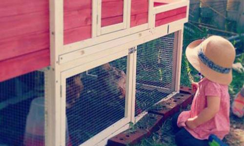Pétition : Oui aux poules urbaines à Rouyn-Noranda
