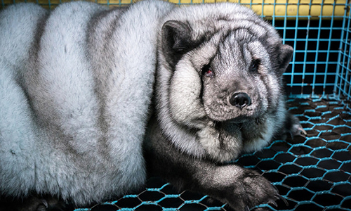 Pétition : Non au gavage à morts des renards pour des ''fourrures'' parfaites vendues à Gucci, Michael Kors et Louis Vuitton