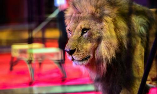 Pétition : Cirques sans animaux à Guingamp : cela est possible !