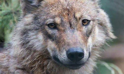 Pétition : Inscription of the WOLF to Unesco !