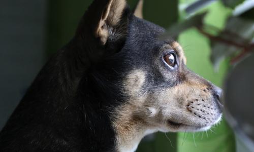 Contre le puçage et la stérilisation obligatoires pour nos animaux de compagnie en Belgique et partout ailleurs !