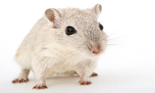 NON au déversement d'une cargaison de rats chez un bailleur social par les Insoumis