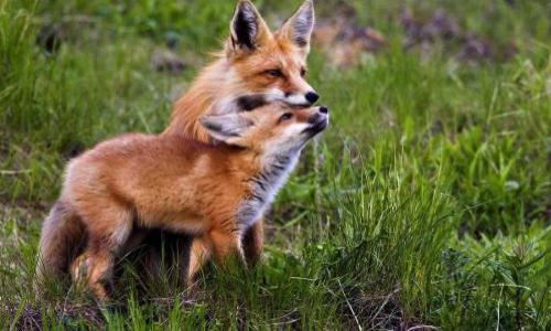 Stop au massacre des renards