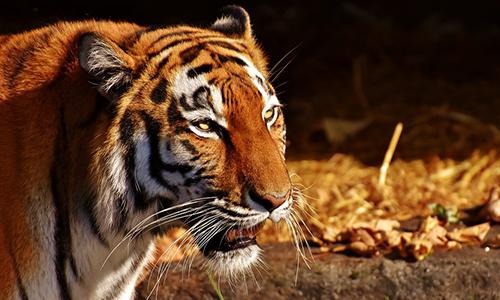 Pour l'interdiction de toute détention d'animaux sauvages par les cirques !