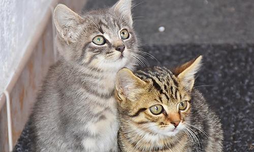 Campagne de stérilisation des chats des rues à Voiron (38)