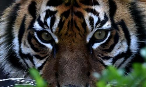 Et si ce tigre n'était pas mort pour rien ?