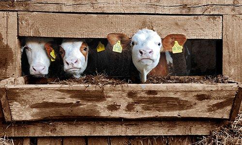 Pour mettre fin au scandale des vaches gestantes