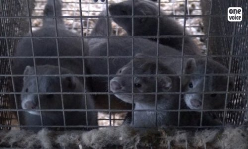 Petition : Let's ban the farming of animals for the fur industry