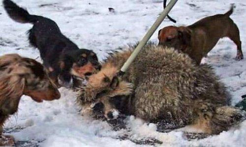 Contre la mise à mort des animaux sauvages utilisés pour entraîner les chiens de chasses russes