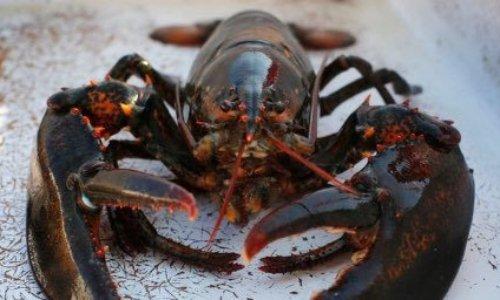 Arrêtons l'ébouillantage des crustacés vivants