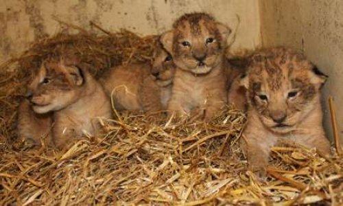 Non à l'euthanasie des bébés animaux nés dans les zoos