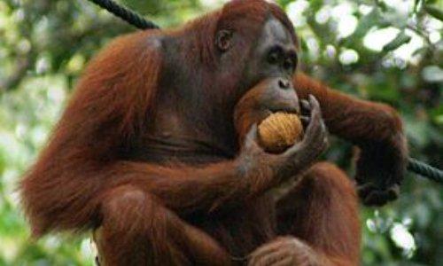 Contre la consommation de l'huile de palme pour les orangs outans